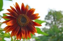 在绽放的独特的红色向日葵 免版税库存照片