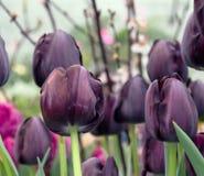 在绽放的独特的黑暗的紫罗兰色郁金香 免版税库存照片