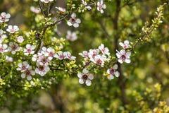 在绽放的白色manuka树花与被弄脏的背景和拷贝空间 免版税库存图片
