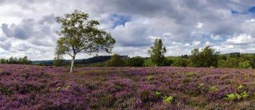 在绽放的紫色石南花在新的森林里 免版税库存图片