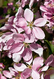 在绽放的紫色花 免版税图库摄影