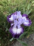 在绽放的紫色&白色虹膜 免版税库存照片
