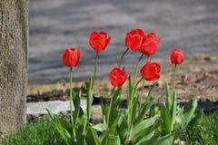 在绽放的红色郁金香 免版税库存照片