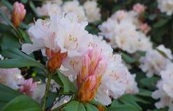 在绽放的美丽和华丽的杜鹃花灌木与紧密精美花 免版税图库摄影