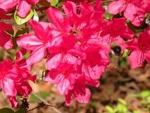 在绽放的美丽的桃红色木槿花 图库摄影