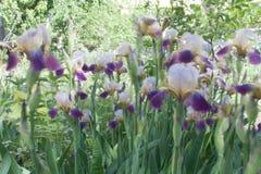 在绽放的虹膜花 自然五颜六色的背景 库存照片