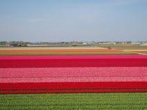 在绽放的郁金香领域在荷兰 库存照片