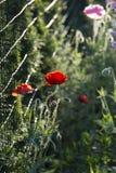在绽放的鸦片在庭院之外 免版税库存图片