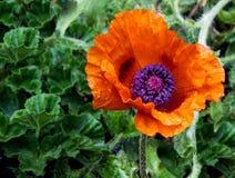 在绽放的鸦片花与可看见的水滴 库存图片
