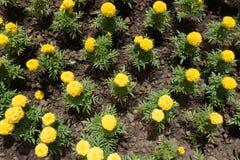 在绽放的黄色万寿菊在花圃里 库存图片