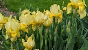 在绽放的黄色虹膜 库存图片