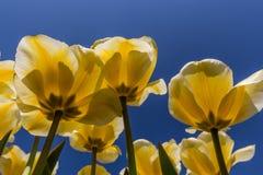 在绽放的黄色郁金香在荷兰 免版税库存图片