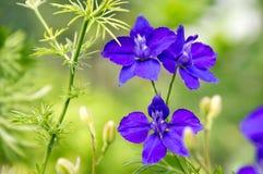 在绽放的Consolida regalis,黑暗的紫罗兰色紫色花 免版税库存图片