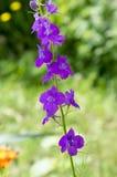 在绽放的Consolida regalis,黑暗的紫罗兰色紫色花 免版税图库摄影
