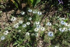 在绽放的Nigella damascena在庭院里 免版税库存图片