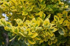 在绽放,冬天爬行物,wintercreeper -卫矛fortunei'绿宝石'n'金子的'时运的纺锤 免版税图库摄影