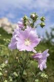 在绽放,在词根的桃红色花的锦葵属alcea与叶子 免版税库存照片
