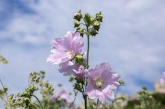 在绽放,在词根的桃红色花的锦葵属alcea与叶子 库存图片