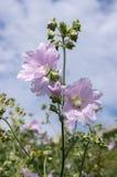 在绽放,在词根的桃红色花的锦葵属alcea与叶子 免版税图库摄影