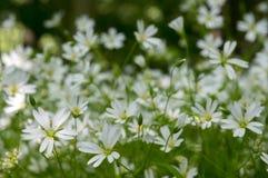 在绽放,小组的繁缕属holostea更加伟大的星形花香草四季不断的花在绿色背景的白花在sinlight 免版税库存照片