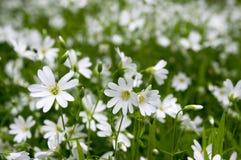 在绽放,小组的繁缕属holostea更加伟大的星形花香草四季不断的花在绿色背景的白花 图库摄影