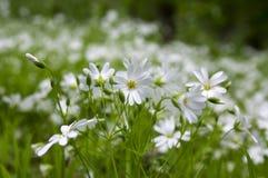 在绽放,小组的繁缕属holostea更加伟大的星形花香草四季不断的花在绿色背景的白花 免版税库存图片