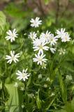 在绽放,小组的繁缕属holostea更加伟大的星形花香草四季不断的花在绿色背景的白花 库存照片