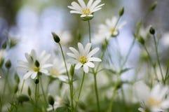 在绽放,小组的繁缕属holostea更加伟大的星形花香草四季不断的花在绿色背景的白花 免版税库存照片