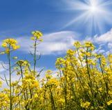 在绽放,早期的春天的黄色油强奸种子本质上在太阳光的在天时间 免版税库存照片