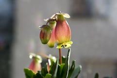 在绽放,有钟形曲线的花,桃红色和黄色颜色的多汁开花植物的Kalanchoe porphyrocalyx 免版税库存照片