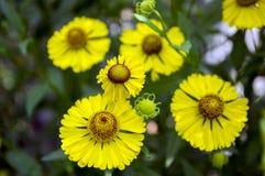 在绽放,束黄色花,与叶子的高灌木的Helenium autumnale共同的喷嚏菊 库存照片