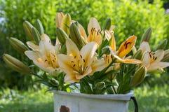 在绽放,橙色和黄色颜色的亚洲杂种百合属植物,在白色桶,在庭院、芽和花,园林植物里 免版税库存照片