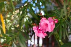 在绽放,绿色叶子的桃红色夹竹桃 免版税图库摄影