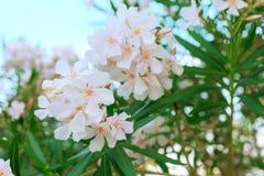 在绽放,绿色叶子的白色夹竹桃 免版税库存照片