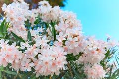 在绽放,绿色叶子的白色夹竹桃 免版税库存图片