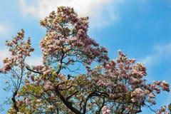 在绽放,自然五颜六色的背景的木兰树 库存图片