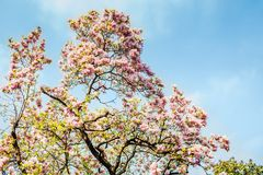 在绽放,自然五颜六色的背景的木兰树 免版税图库摄影