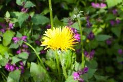 在绽放,自然五颜六色的背景的蒲公英花 库存图片