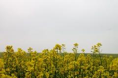 在绽放Nr Avebury威尔特郡英国的油菜籽领域 库存图片