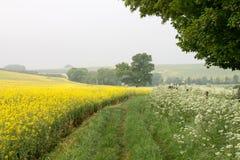 在绽放Nr Avebury威尔特郡英国的油菜籽领域 库存照片