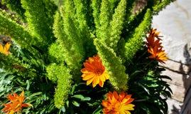 在绿叶中的明亮的橙色雏菊 免版税图库摄影