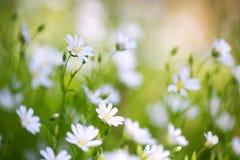 在绿叶背景,早晨,特写镜头的生气勃勃的春天花 库存照片