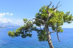 在绿松石海的背景的杉树在凯梅尔 免版税库存图片