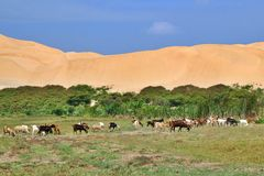 在绿洲的动物 秘鲁沙漠 库存照片