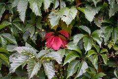 在绿色中的红色叶子 免版税图库摄影