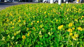 在绿色事假背景的美丽的小黄色花 库存图片