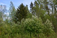 在绿色云杉背景的开花的稠李  免版税库存图片