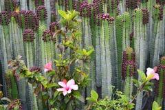 在绿色仙人掌自然后面的明亮的桃红色木槿罗莎sinensis 图库摄影