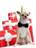 在绿色傻瓜的盖帽的淡黄的小狗 库存照片