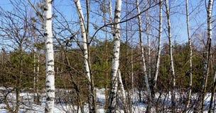 在绿色具球果森林和蓝天背景的白桦  免版税库存图片